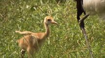 Mws Crane Chick Runs, Flapping Featherless Wings, To Catch Up With Mother