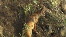 Mws Fox Slinks Away Up Grassy Bank