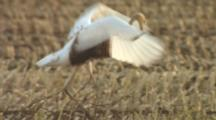 Young Crane Jumps Up And Down In Field, Stretching Wings, Pecks At Leaf, Runs R - L