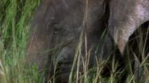 Elephant In Long Grass Chewing