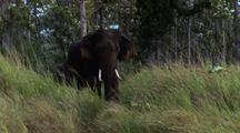 Tusked Bull Elephant Walks Toward Camera, Trunk Draped Over Tusk.