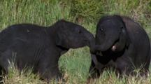 Mws Two Baby Elephants Playing, Butting Heads
