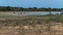 Xws Water Buffalo And Birds At Water Hole