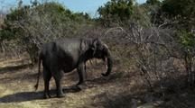 Elephant Walks L - R Through Scrub