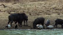 Mws Four Wild Boar And Ibis Drink At Waterhole