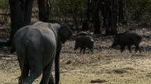 Elephant Chases Off Group Of Wild Boar