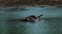 Carcass In Waterhole