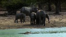 Elephants Hestitate At Carcass In Waterhole