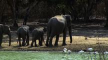 Elephants Walk Away From Waterhole, Bums To Camera