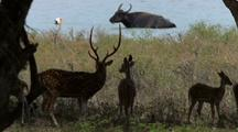 Doe And Fawns At Waterhole, Silhouetted Antlers, Bird On Fawn's Head, Waterbuffalo Bathing