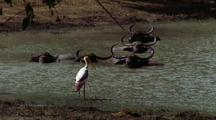 Water Buffalo Wallowing In Water, Bird In Foreground