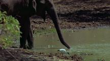 Mws Elephant Drinks From Waterhole, Trunk Curling Up To Mouth. Small Bird Alongside