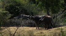 Group Of Standing Water Buffalo, Ears Flapping