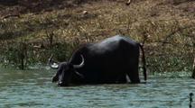 Single Water Buffalo Drinking And Wading