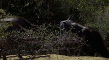 Waterbuffalo Trot Away Through Trees