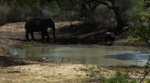 Water Buffalo And Elephant Walk Around Waterhole