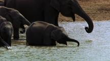 Mws Herd Of Elephants Drinking And Bathing, Baby In Foreground
