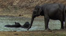 Two Baby Elephants Play In Waterhole As Adult Stands At Water's Edge