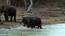 Three Baby Elephants Slosh Out Of Waterhole Towards Adults