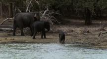 Seq. Tiny Baby Elephant Gallops Into Water Followed By Other Juveniles, Adults Nearby