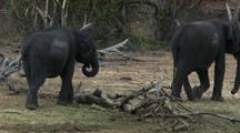 Elephant Steps Across Fallen Tree Log, Walks Away From Camera