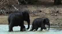 Tiny Baby Elephant Skips Around Water's Edge, Splashes Into Water And Runs Out Again. Elephant In Background Threshes Grass.