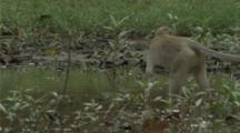 Long-Tailed Macaque Foraging In A River