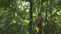 Long-Tailed Macaques Jumping From Tree To Tree