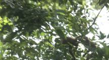 Long-Tailed Macaques Playing And Jumping From Tree To Tree In The Canopy