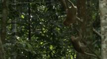 Long-Tailed Macaques Play In The Tree Tops On Vines