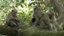 A Family Of Long-Tailed Macaques Grooming Each Other In A Tree At Angkor