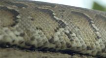 Large Python Snake Moves Through Jungle, Close Up Of Skin