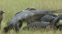 Vultures Feed On Carrion In Grassy Field