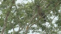 Vulture In Tree Flies Away
