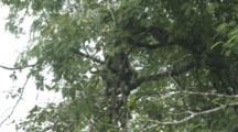 Black-Shanked Douc Climbs Up Tree