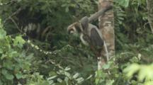 Black-Shanked Douc Rests In Tree, Jumps Away