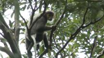 Black-Shanked Douc Climbs Down Tree