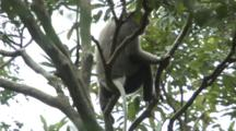 Black-Shanked Douc Rests In Tree