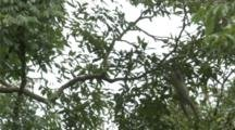 Black-Shanked Douc Climbs In Tree