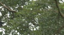 Black-Shanked Doucs Climb In Jungle