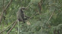 Black-Shanked Douc Jumps From Tree To Tree In Forest