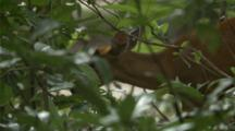 Deer, Possibly A Muntjac, Walks In Cambodian Jungle