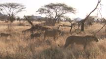 Female Lions And Cubs Walk On Kenya Savanna