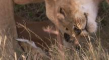 Lions With Fresh Impala Kill
