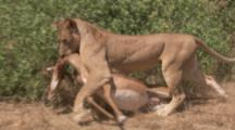Lion Carries Fresh Impala Kill