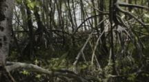 Mangrove, Close Up Panorama Of Roots