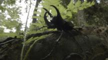 Large Beetle, Possibly A Stag Beetle