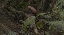Mountain Shrew Uses A Pitcher Plant For A Latrine, Mount Kinabalu