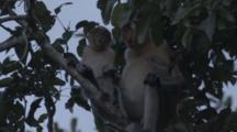 Proboscis Monkey Grooms Baby In Borneo Jungle