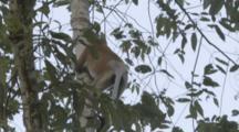 Proboscis Monkeys Climb In Borneo Jungle